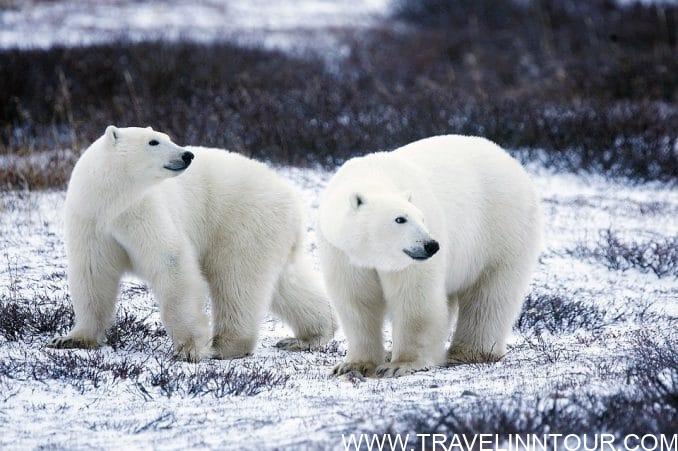 Polar Bears Wildlife