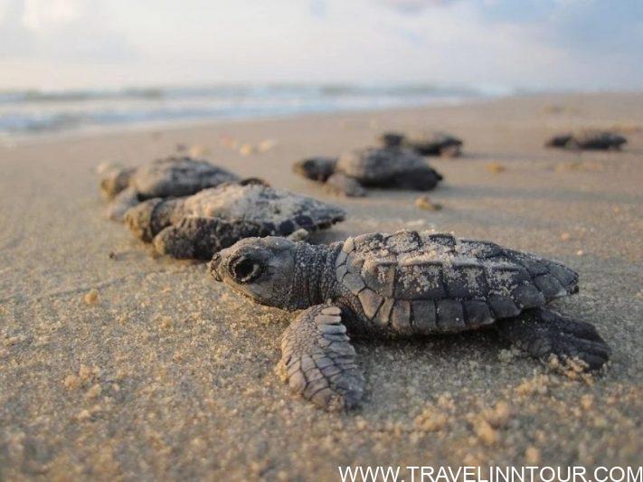 Sea Turtle Nesting -