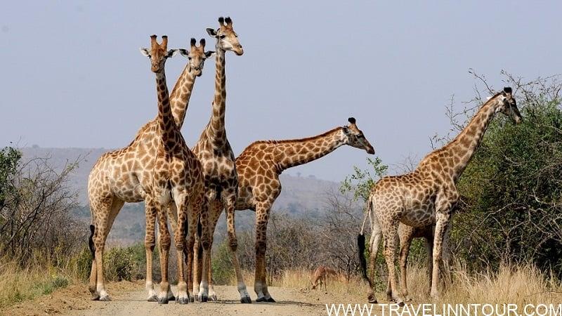 South Africa Giraffes